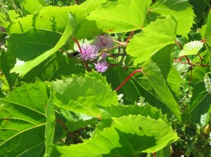 Thistle Among the Vine